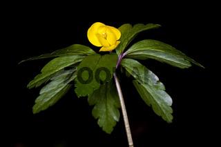Gelbes Windröschen (Anemone ranunculoides) / yellow wood