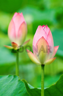 Close up of two lotus flowers with green back ground