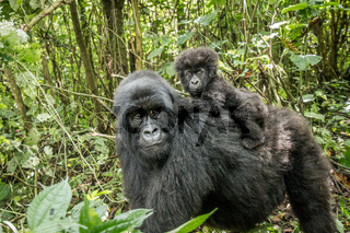 Baby Mountain gorilla sitting on his mother.