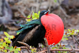 Male Great Frigatebird on Genovesa Island, Galapagos National Park, Ecuador