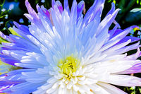 closeup of a white and blue chrysanthemum