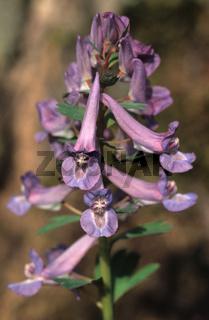 Lerchensporn, Corydalis, Kidneywort