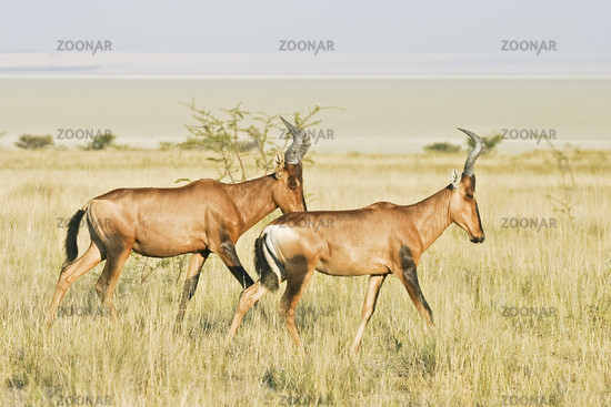 Hartebeests in Etosha National Park, Africa