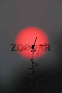 Libelle im roten Sonnenball der untergehenden Sonne, Moremi National Park, Moremi Wildlife Reserve, Okavango Delta, Botswana, Afrika, Dragonfly in the red sun, sunset, Africa