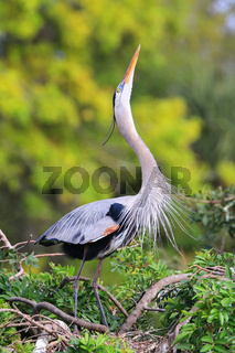 Great Blue Heron in breading display. It is the largest North American heron.