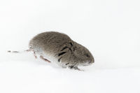 just a short encounter...  Montane Vole *Microtus montanus*