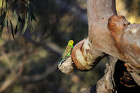 Budgerigar perching on a a branch in the afternoon light, KIngs Canyon, Northern Territory