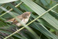 Marsh warbler in the reed