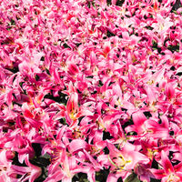 lot of pink lilies on flower bed
