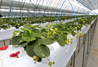 Strawberry production in soil-free substrates in a greenhouse, Mongolia
