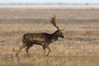 fallow deer stag walking on meadow