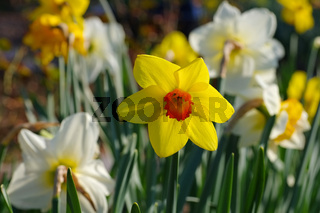 Narzisse der Sorte Fortune - the Daffodil flower is called Fortune