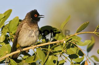 Maskenbuelbuel (Pycnonotus nigricans), Namibia, Afrika, Black-fronted Bulbul, Africa