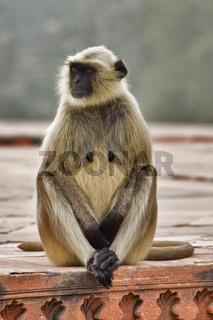 Hanuman-Langur, Hulmane oder Indischer Langur (Semnopithecus entellus), Nordindien, Indien, Asien - Hanuman-Langur, Hulmane or Indian Langur (Semnopithecus entellus), North India, India, Asia