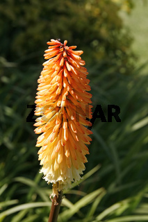 Kniphofia 'Tetbury Torch', Fackellilie (Torch lily, Poker Plant)