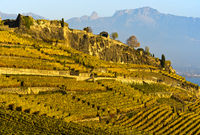 Vineyards in steep terrace cultivation rising above Lake Geneva, Lavaux, Vaud, Switzerland