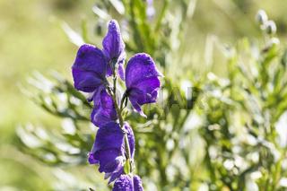 Aconitum, Eisenhut - Eine Heilpflanze, die besonders in der Homöophatie Verwendung findet.
