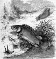 The Anabas or Fish climber, vintage engraving.