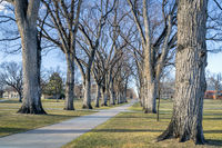 Allee with old American elm trees