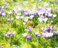 Spring background with various crocus flowers