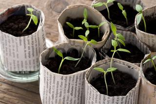 Junge Tomatenpflanzen in Papiertöpfen