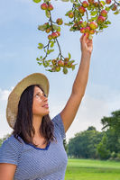Young woman picking red apples from apple tree