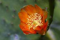 Blühende Opuntie, Feigenkaktus (Opuntia), Teneriffa, Kanarische