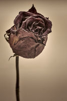 dried red rose - sepia image