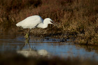 Little egret, Egretta garzetta, East Germany