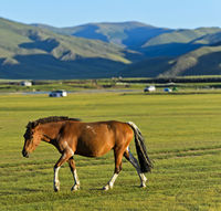 Brown horse in the Mongolian steppe, Orkhon Valley, Mongolia