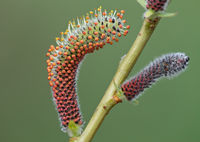 Purpleosier willow