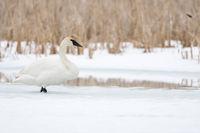 in winter... Trumpeter Swan  *Cygnus buccinator*