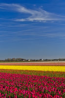 Fields of blossoming tulips, Bollenstreek area, Noordwijkerhout, Netherlands