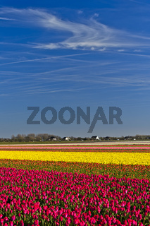 Blühende Tulpenfelder, Blumenzwiebelregion Bollenstreek, Noordwijkerhout, Niederlande