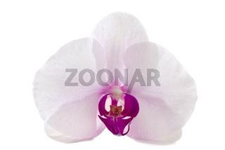 Weiß-lila Orchideenblüte freigestellt