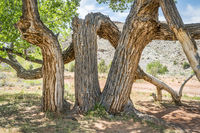 old twisted cottonwood tree in a desert canyon