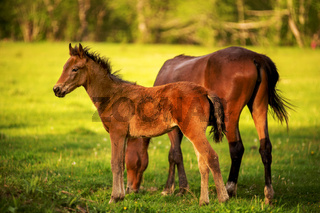 Mother horse with her foal grazing on a spring green pasture against a background of green forest in the setting sun