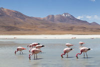 Flamingos on Laguna Hedionda