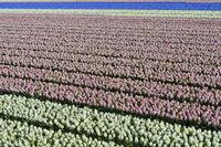 Anbau von Hyazinthen zur Produktion von Blumenzwiebeln in der Blumenzwiebelregion Bollenstreek