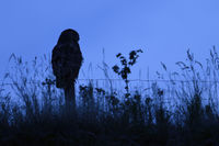 hunting at night... Eurasian Eagle Owl *Bubo bubo* perched on a fencepost, silhouetted against sky