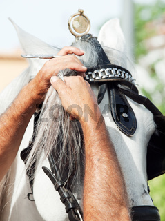 Rider plait bangs of a white carriage horse. Andalusia
