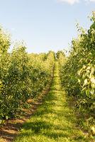 Pear tree plantation