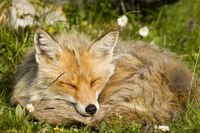 sleeping mountain fox
