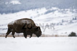 unverkennbare Silhouette...  Amerikanischer Bison *Bison bison*