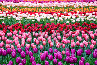 Flower field of multicolored tulips, the Netherlands.