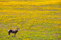 Bontebok in the Flowers, West Coast National Park, South Africa