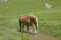 Haflinger horse in brook