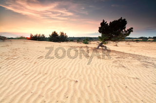 pine tree on sand dune at susnet