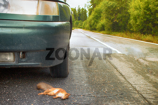 Adult squirrel hit by car on paved forest highway.