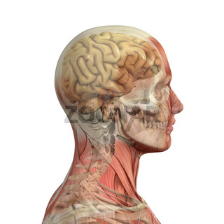 Male head with muscles, skull and brain.